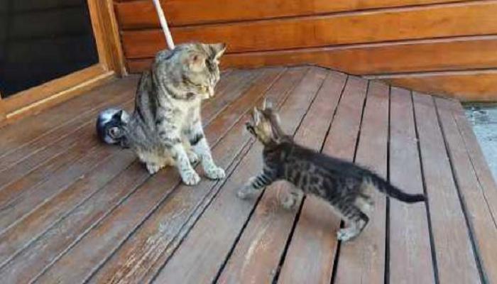 walking talking cat toy